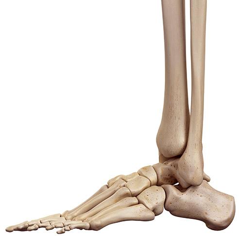 Scheletul piciorului uman