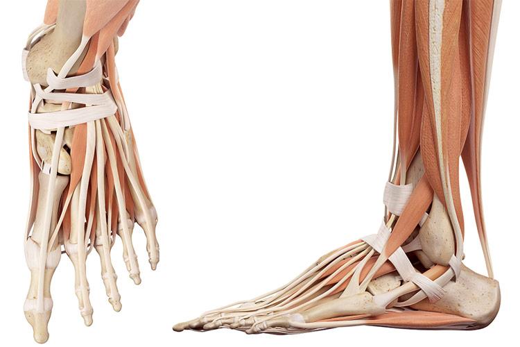 Anatomia piciorului uman oase muschi ligamente